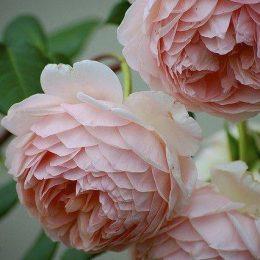 Chelsea Flower Show Delight